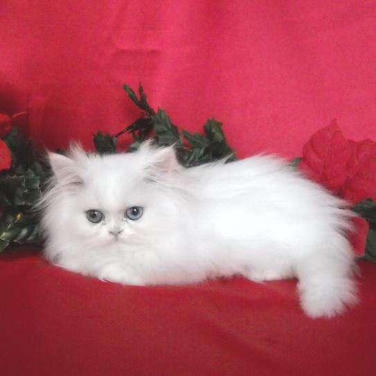 Exquisite and Excellent Teacup Persian Kittens for sale - Jharkhand