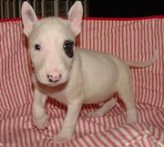 9313005254 registered Bull Terrier puppies.