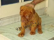 9313005254 Fresh Stock of Shih Tzu, Lhasa, Mastiff, St Bernard, Labs.