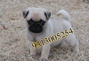 PUG@ discounted price on this holi9313005254