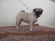 Pug pups for sale 9334004956