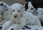 DALMATIAN PUPPIES FOR SALE  @ ANSHUKENNEL