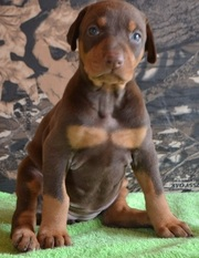 Clawsnpawskennel offers Imported  Doberman Puppies